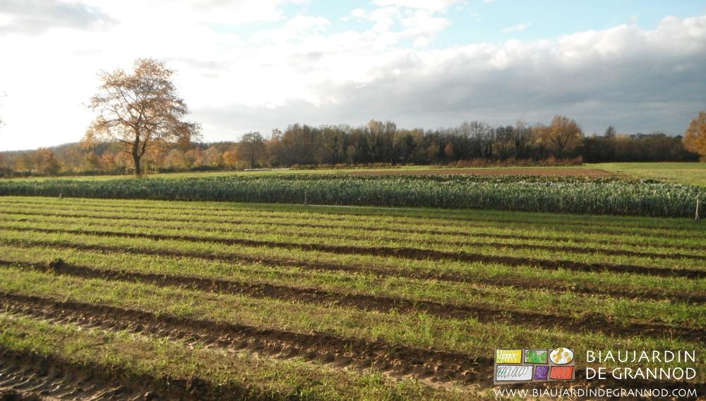 Maintien du sol couvert par des engrais verts en l'absence de légume.