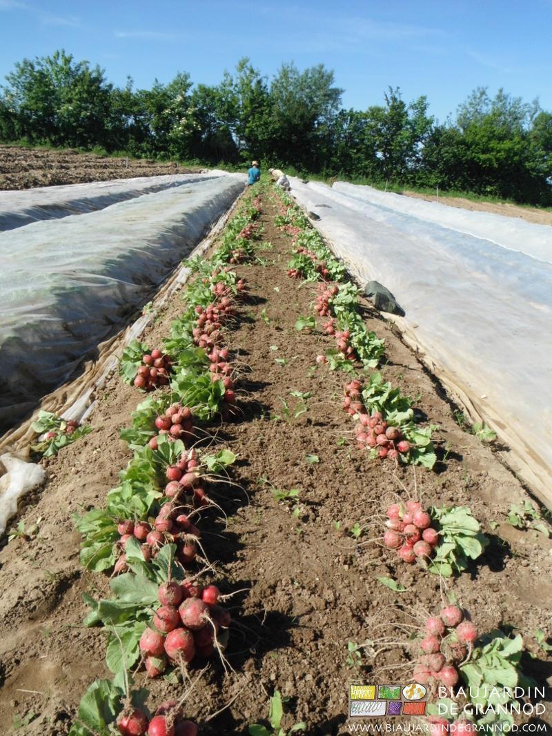 récolte de radis rond rouge