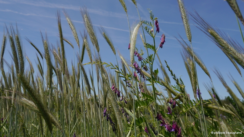 essai de bande fleurie avec notamment céréales en mélange pour cultiver la biodiversité