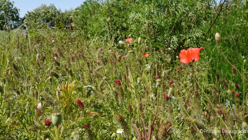 les biaux jardiniers laissent venir à maturité quelques planches riches en coquelicot pour en récolter la graine de façon à étendre cette pratique en économisant sur le prix de la semence