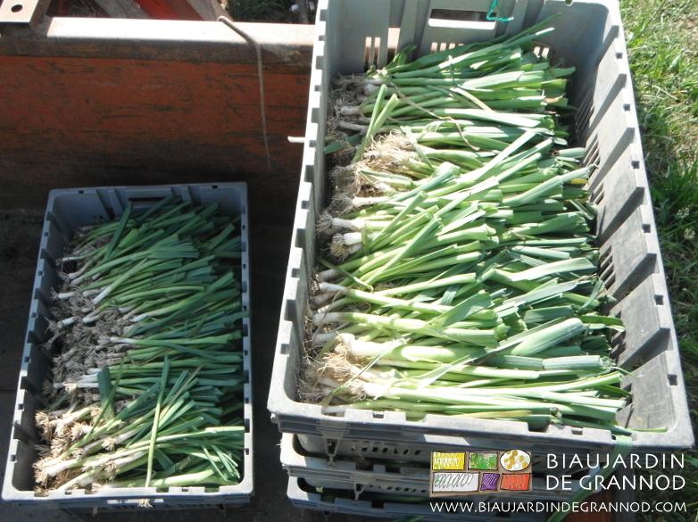 Les plants prêts pour le repiquage sont stockés au frais en attente de plantation.