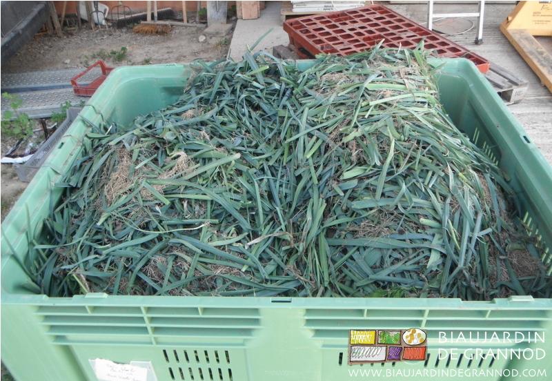 """Les feuilles et racines du plant de poireau sont """"habillées""""...çà compostera !"""