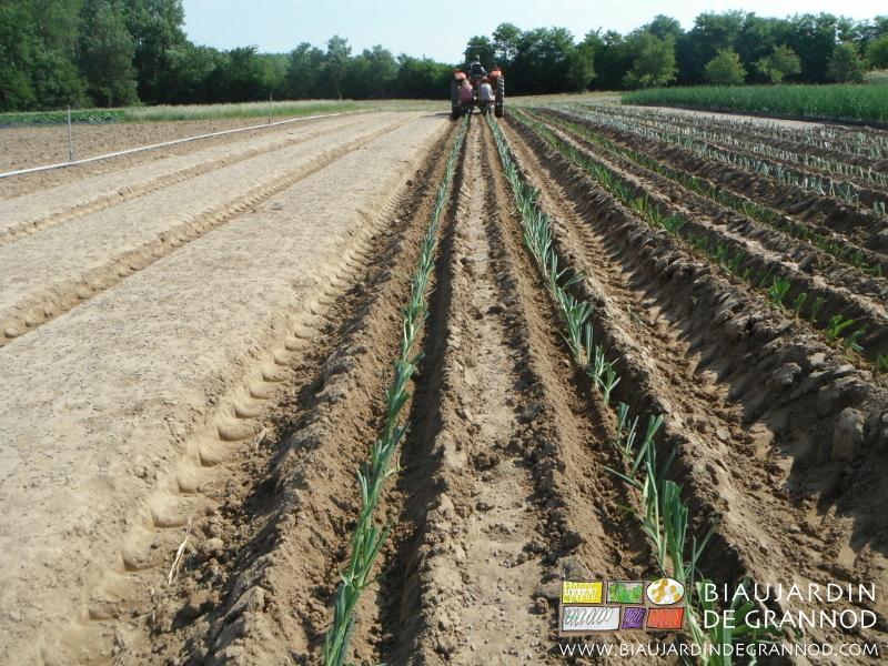 La plantation des poireaux, çà dure, çà dure...