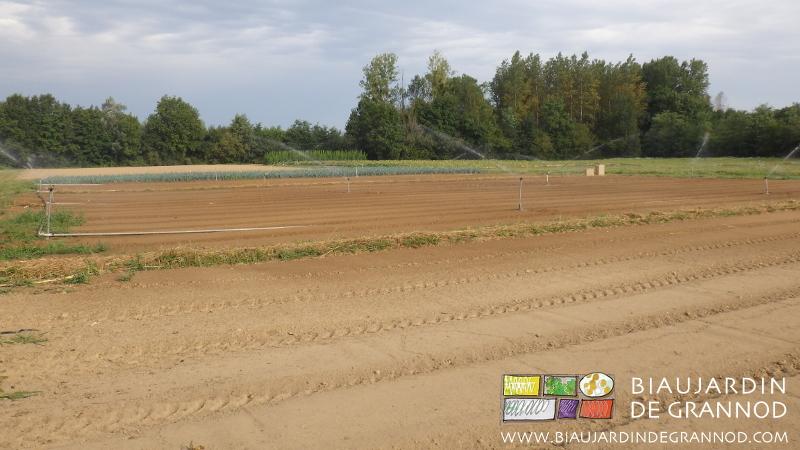 L'engrais vert, une culture à part entière : bonne préparation des planches, semis, arrosage pour un bon démarrage, entretien