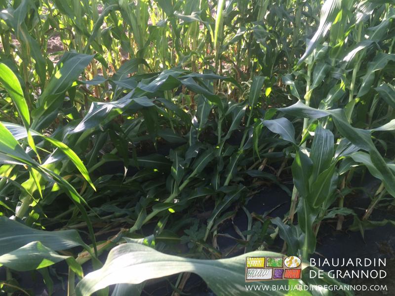 les rafales orageuses ont couché le maïs sucré