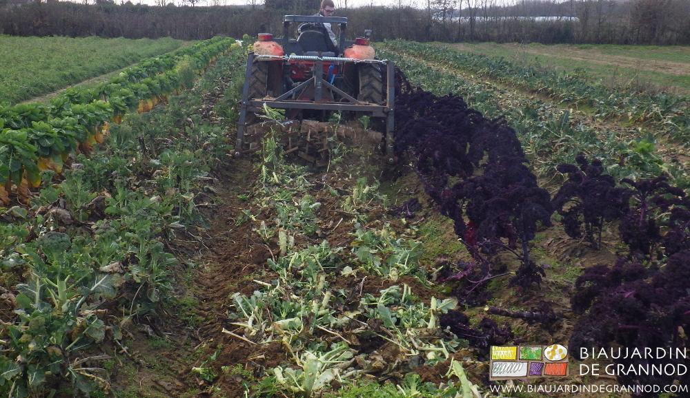 Destruction et incorporation de brocoli après récolte avec un passage de roloflex