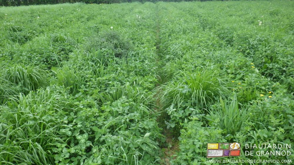 Mélange diversifié d'engrais vert en deuxième année