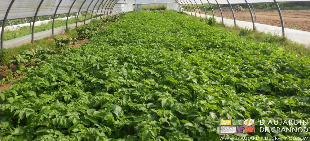 Culture de pomme de terre précoce sous tunnel