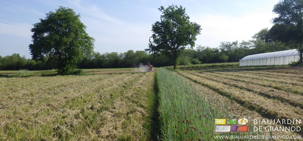 Engrais vert pluriannuel broyé pour incorporation ou pour entretien, épandage de fumier de bovin rapidement composté, bande fleurie en semis d'automne et hivernée.
