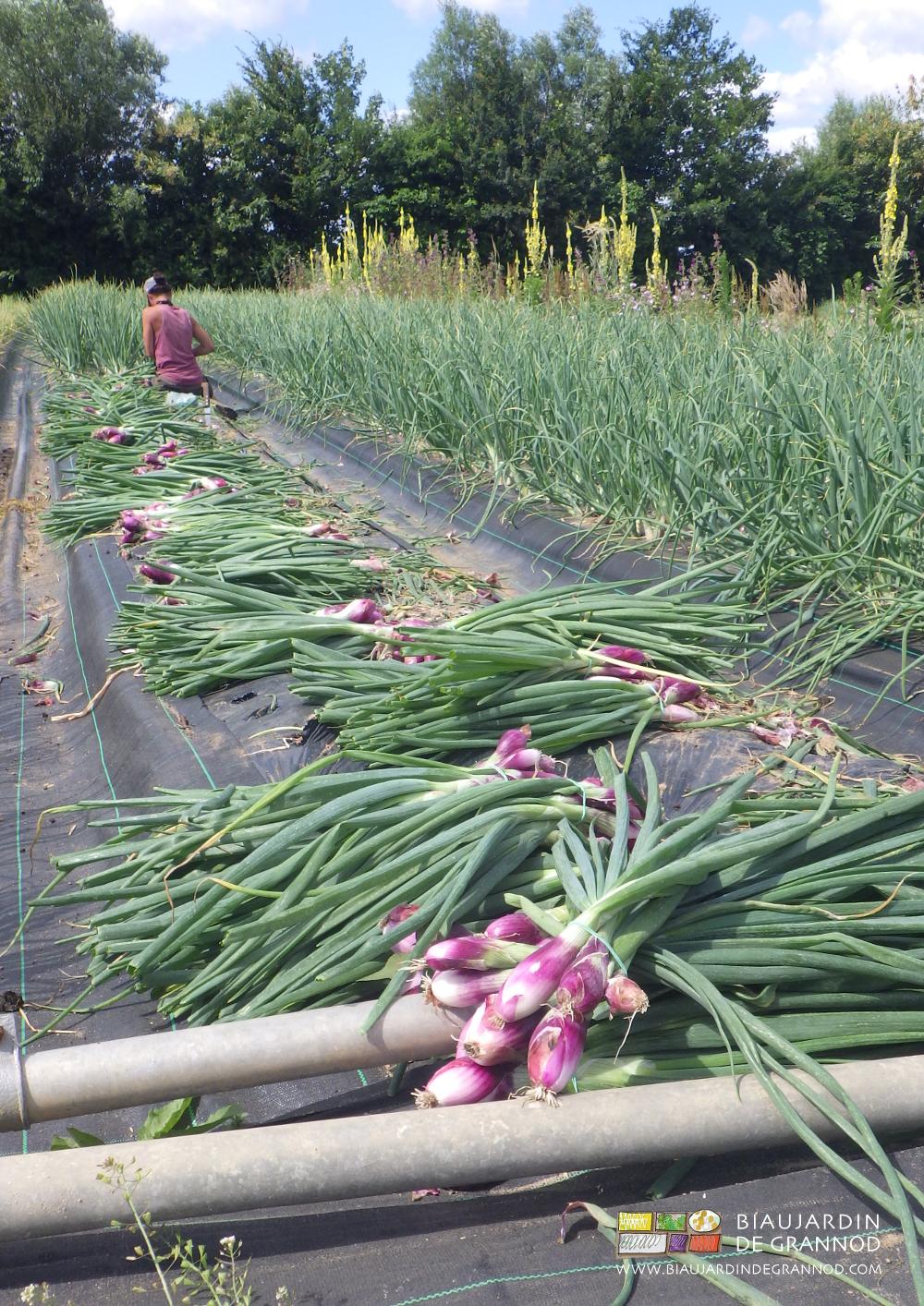Récolte en botte de l'oignon doux de Simiane.