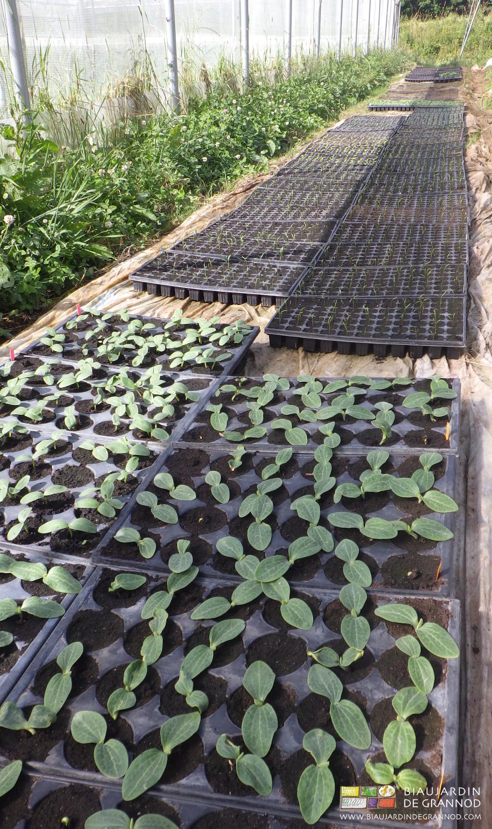 Plaques alvéolées des plants produits au Biau Jardin de Grannod