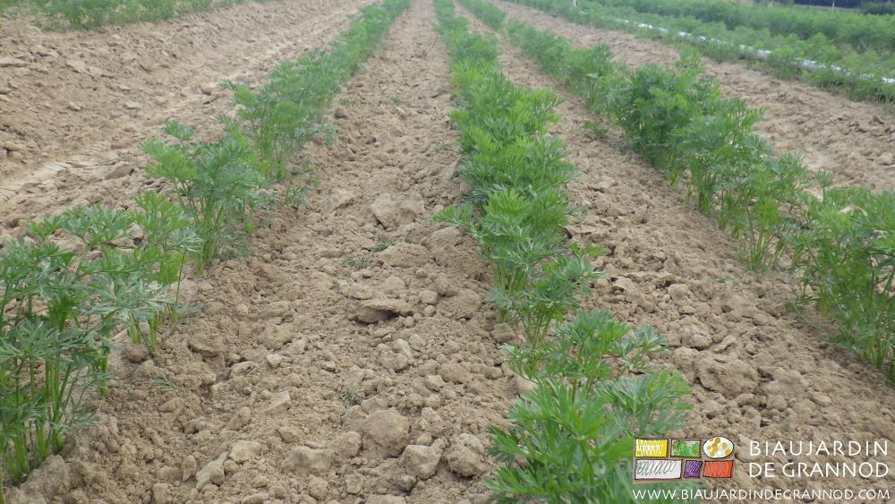 Troisième binage sur le dernier semis de carotte d'hiver.