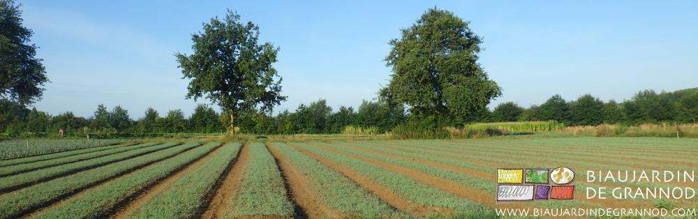 Binage des allées entre les planches d'engrais vert.