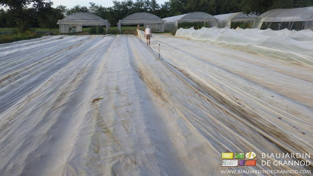 Protection de navet et radis d'hiver par filet anti-insecte