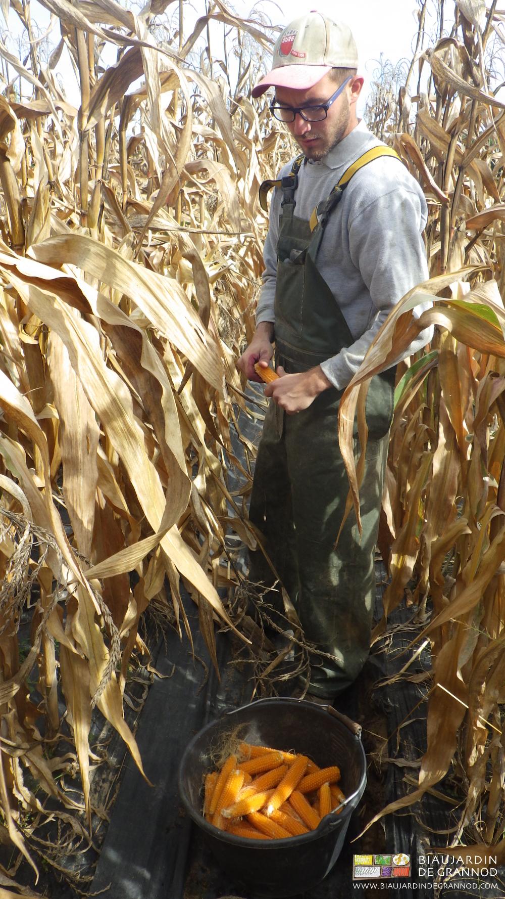 Échaillage du maïs pop-corn lors de la récolte