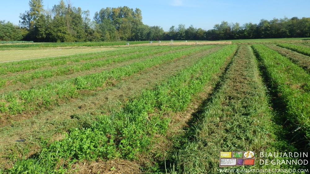 Broyage alterné des engrais verts en planche permanente pour favoriser la biodiversité.
