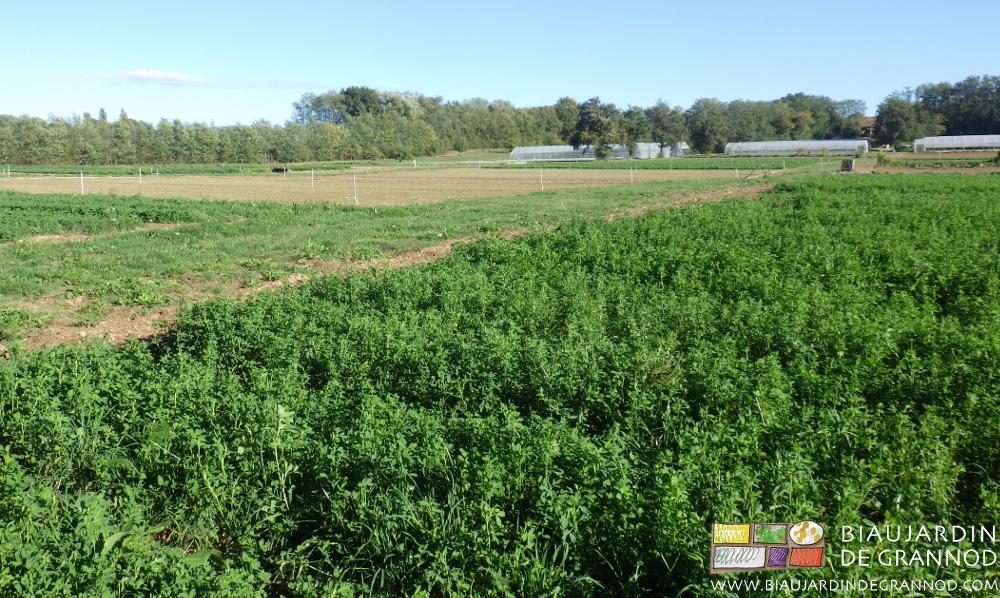 Culture en planche permanente d'engrais vert pluri-annuel à base de trèfles, luzerne et poacées