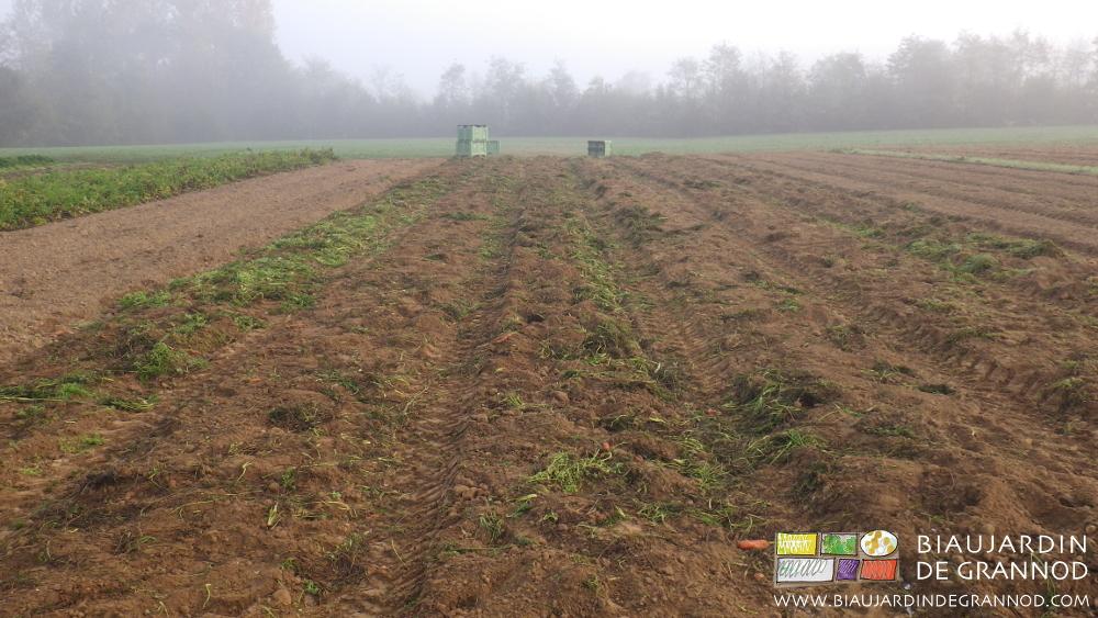 Les planches permanentes après récolte des carottes : feuillage de carotte et herbes adventices