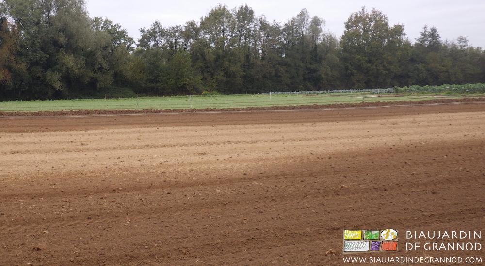 Arosage de l'engrais vert pour le faire lever malgré la sécheresse
