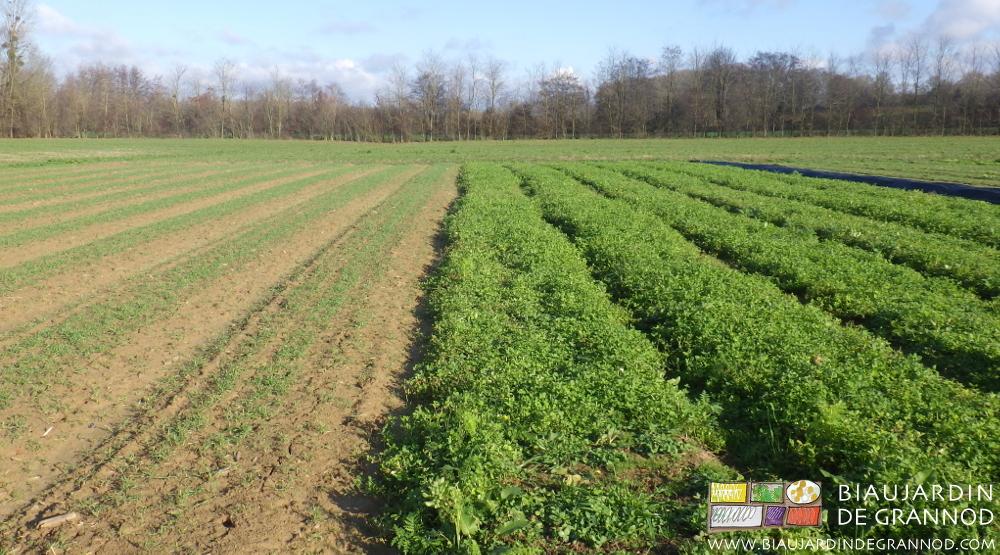 Deux semis d'engrais verts différents selon date de semis et composition