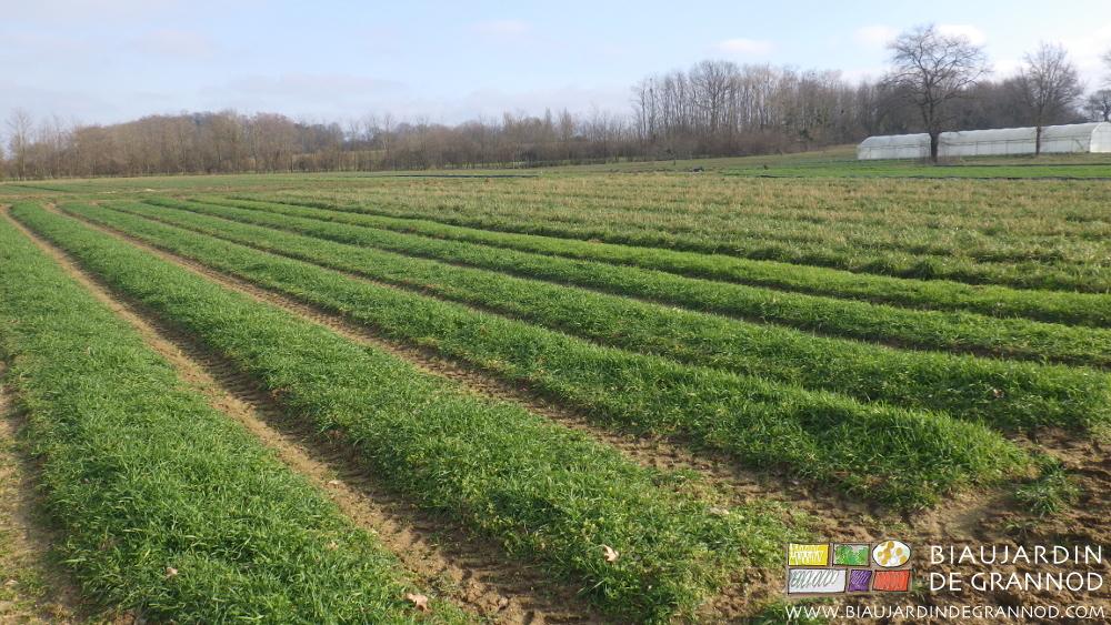 Engrais verts annuels et pluriannuels couvrent le sol.