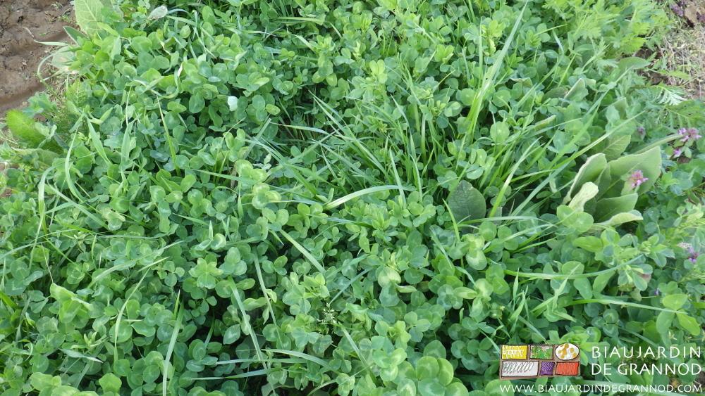 Engrais vert pluriannuel encore bien diversifié en troisième année de croissance.