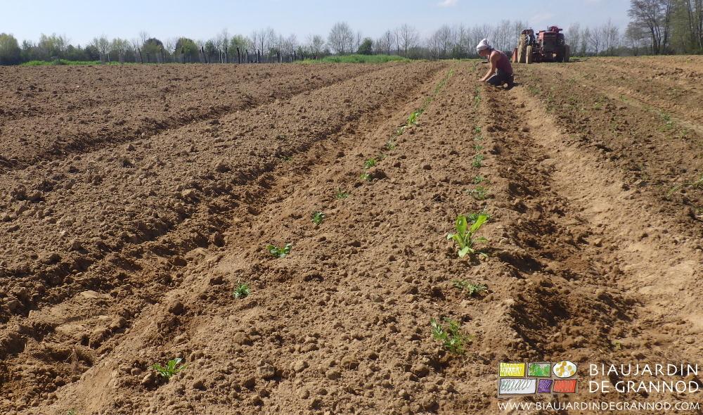 plantation des mottes dans une nouvelle bande fleurie