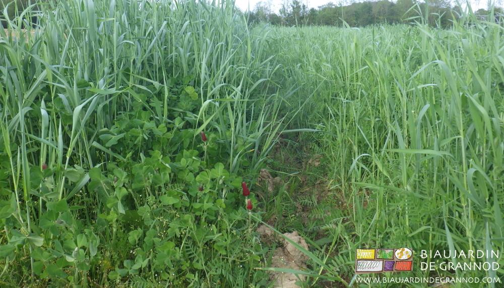 Association de poacée (seigle) et fabacée (trèfle incarnat à G ou vesce d'hiver à D) comme engrais vert hivernant.