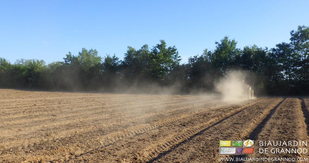 Roulage du semis d'engrais vert pour favoriser sa germination.