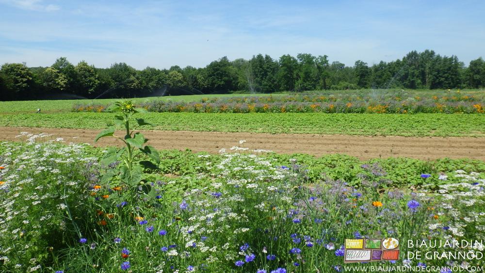Bandes fleuries pour auxiliaires, engrais vert, planches permanentes prêtes pour une plantation, arrosage en cours sur le carré de poireau, haies bocagères de feuillus de pays en mélange : notre Bio.