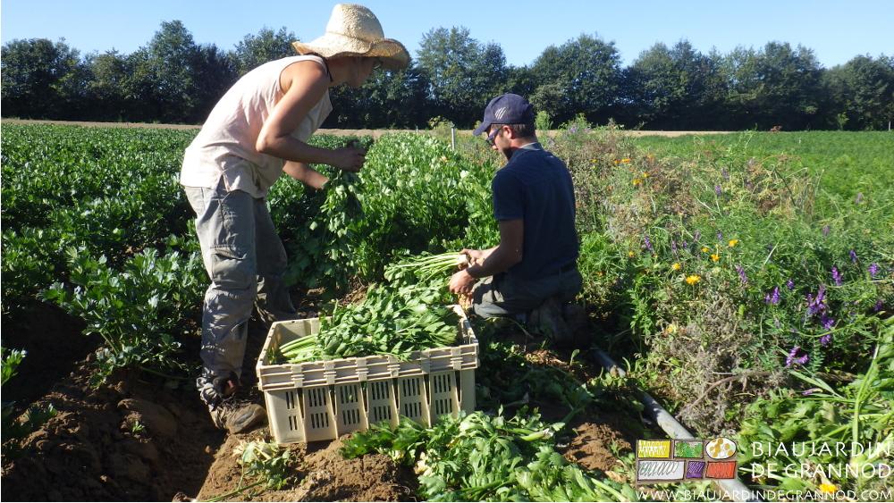 Récolte du céleri-branche cultivé entre céleri-rave à G et bande fleurie pour auxiliaires à Dr