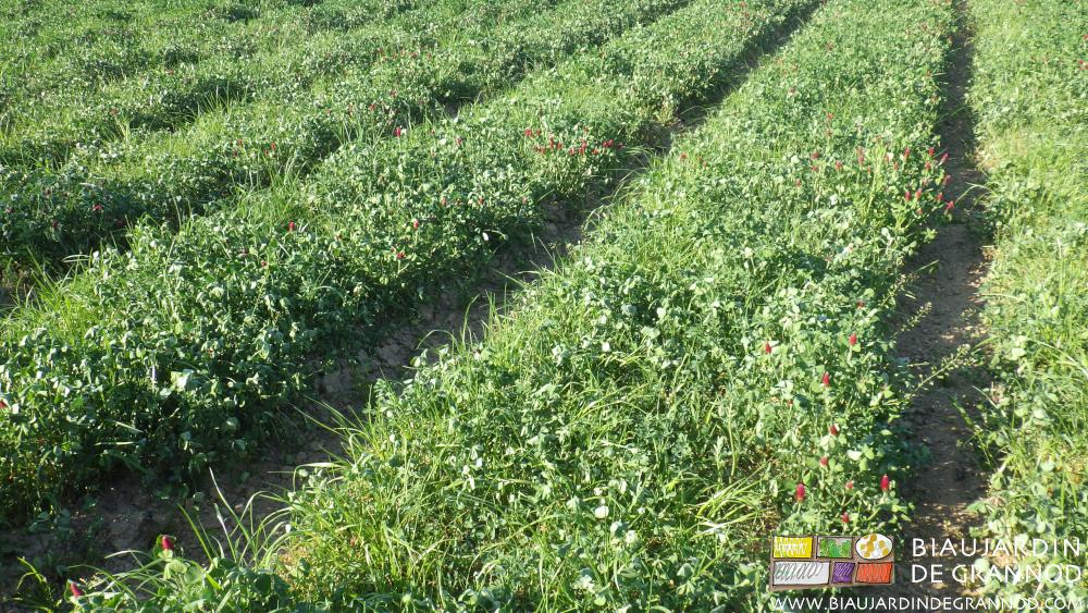 Engrais vert pluriannuel diversifié en position de résistance au sec.