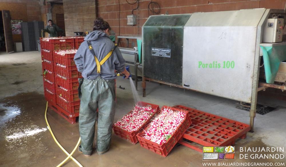 Pluie => terre mouillée => radis très terreux => lavage à l'eau potable.
