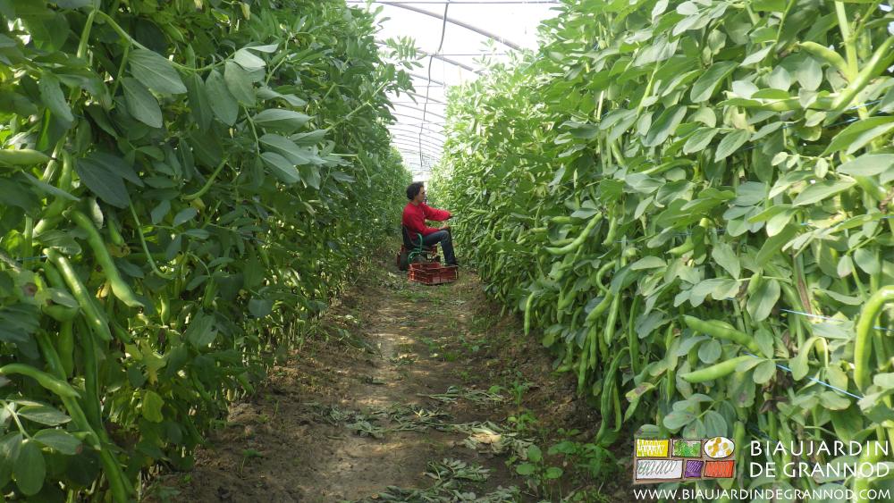 Fève : récolte ergonomique grâce au siège roulant.