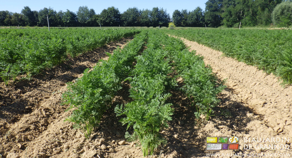 Pour détruire les plantules d'adventices sur le rang de carotte : mini buttage associé au binage.