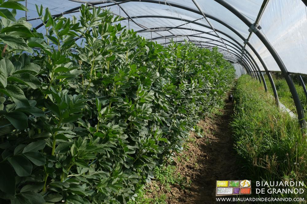 Culture de fève hivernée ramée sous tunnel.