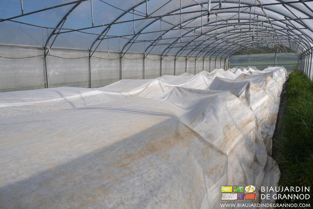 Protection complémentaire des tomates contre le froid.