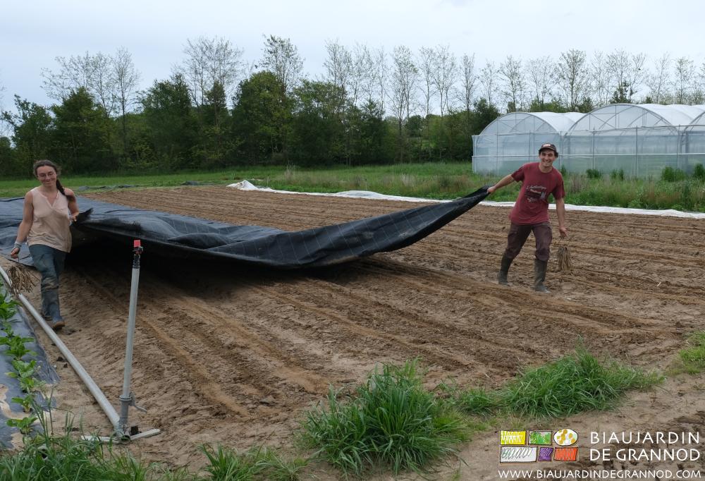 Rebâchage immédiat des planches permanentes semées en panais après faux semis détruit par occultation.