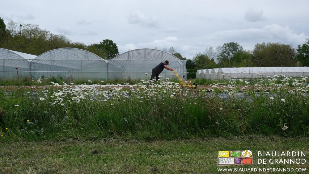Semis à coté d'une bande fleurie pour auxiliaires.