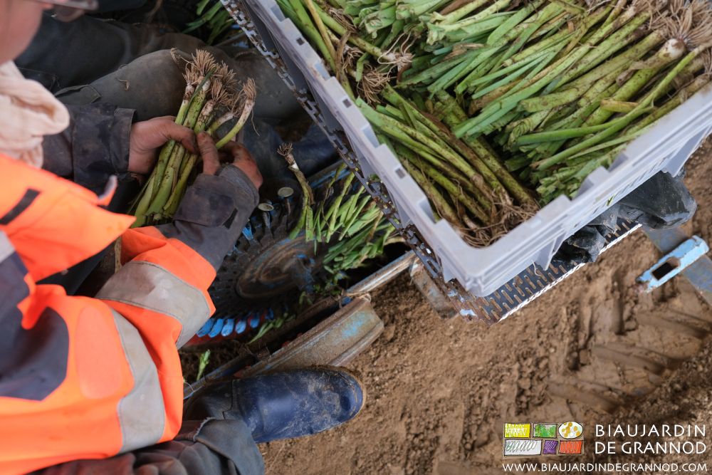 Plantation mécanisée de poireau distributeur 36 pinces vitesse rampante.