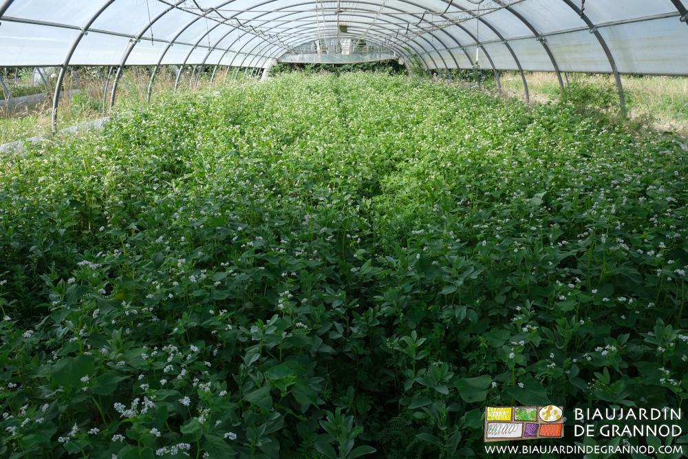 Sous tunnel mélange d'engrais vert à base de sarrasin et féverole.