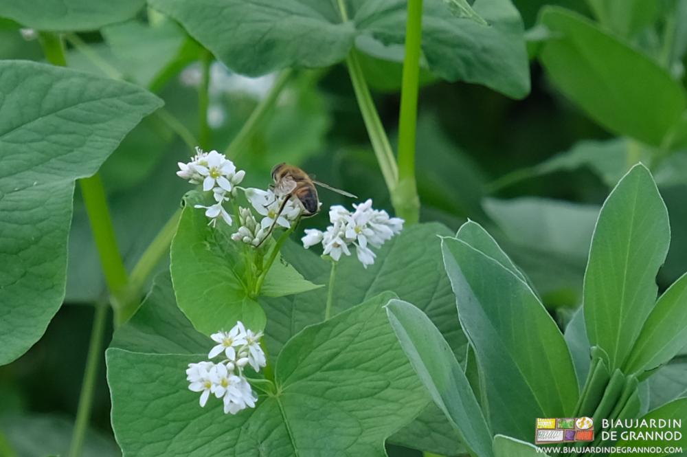En fleurs dans l'engrais vert, le sarrasin attire de très nombreux butineurs.