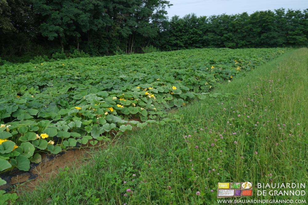 Floraison de trèfles pour accompagner la pollinisation des courges.