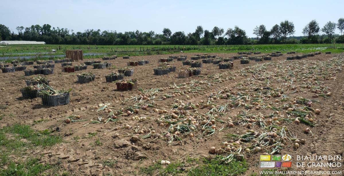 Ramassage manuel des oignons cultivés en planche permanente et mise en cagettes.