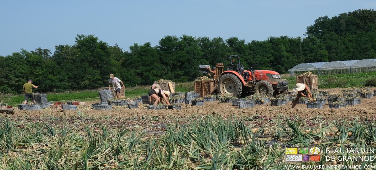 Récolte de l'oignon jaune : beaucoup de manutention manuelle.