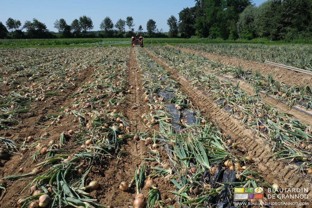 Arrachage mécanique de l'oignon cultivé en planche permanente.