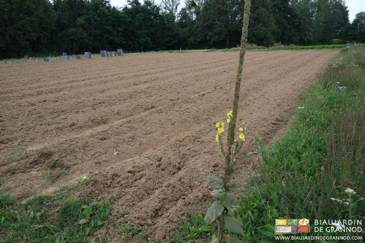 Reprise du carré d'oignon avec le cultibutte pour des planches permanentes prêtes à être semées d'un engrais vert.