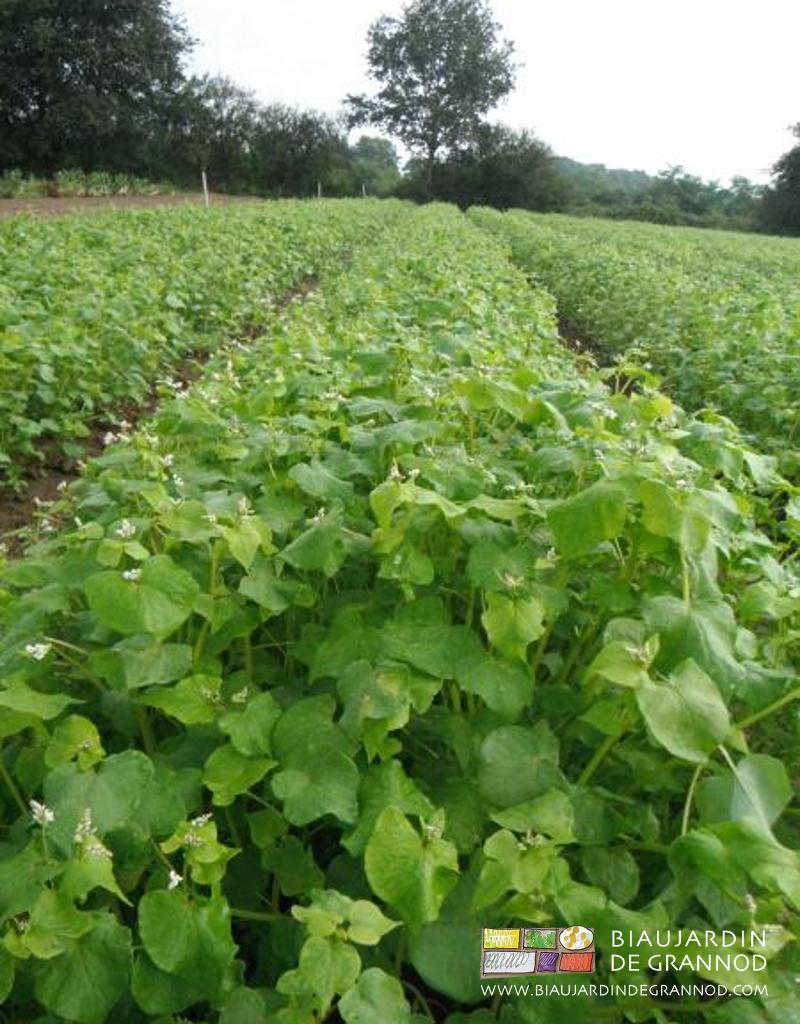 Rotation base d 39 engrais verts biau jardin de grannod - Engrais vert d automne ...