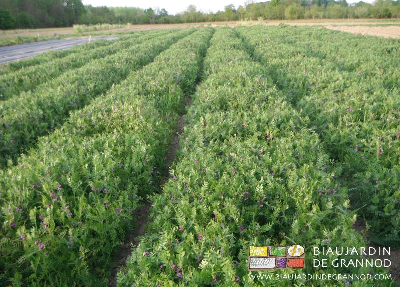 Une rotation base d 39 engrais verts biau jardin de grannod for Cherche jardin a entretenir