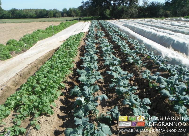 brocoli butté, à coté, planches de navets et radis d'hiver